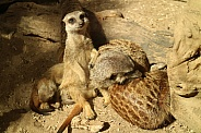 Meerkats playing