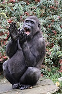Gorilla clapping hands