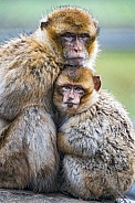 Pair of Macaques. Mother and Young