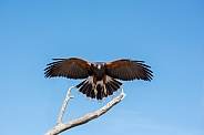 Harris's Hawk in Flight #2
