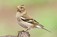 A Female Chaffinch