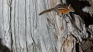 Yellow Pine Chipmunk, Tamias amoenus