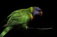 Rainbow Lorikeet Full Body Black Background