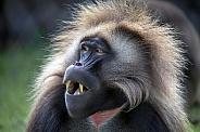 bleeding heart monkey