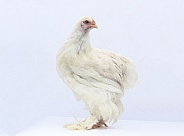 White Cochin Hen