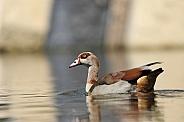 Nile Goose