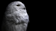 Snowy Owl Black Background