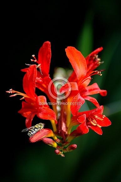 Orange Crocosmia with Hover fly
