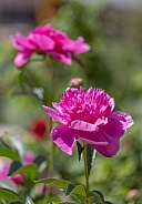 Pink Peony Flowers standing tall in the sunlight