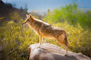 Coyote Profile