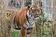 Female Malaysian Tiger