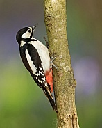 Great Spotted Woodpecker (female) in Bluebells