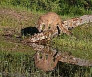 Juvenile Mountain Lion