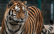 Amur Tiger Lookig Right - Alert