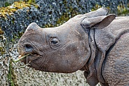 Young Rhinoceros