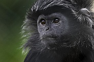 Male Javan Langur Head Shot