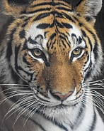 Adult Amur Tiger Profile