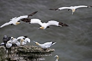 Gannet colony - North Yorkshire - England