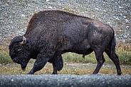 Canadian Bison 2