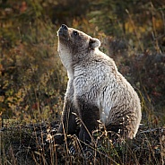 Grizzly bear smelling something