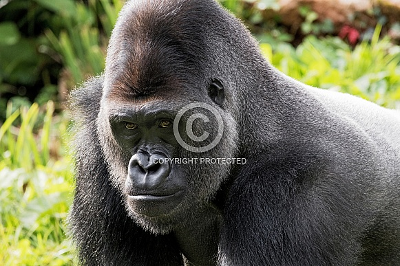 Western Lowland gorilla Close Up