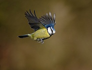 A Blue tit in flight