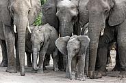 Baby African Elephants - Botswana