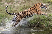 Jumping Amur tiger