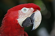 Red Macaw