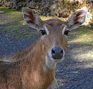Female Nilgai - Blue Bull