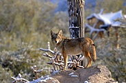 Coyote in the Desert Snow