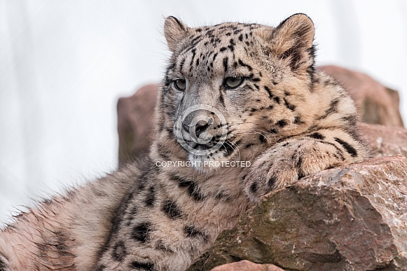 Snow Leopard Resting On Rocks Head Up