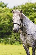 Dapple Grey Highland Pony