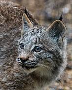 Canadian Lynx Cub