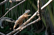 Wild Squirrel in Costa Rica