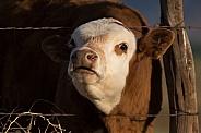 Mooing Calf