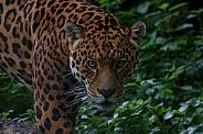 Jaguar Looking Towards Camera. Dark Undergrowth.