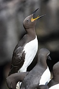 Guillemots - Island of Lunga - Scotland