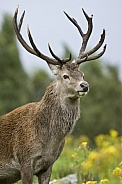 Red Deer Stag - Scottish Highlands
