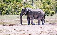 African Elephant (wild)
