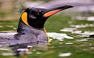 king penguin afloat