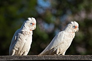 Two Long-billed Corellas (wild).