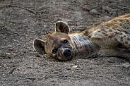 Hyena (wild)