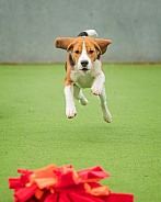 Beagle Playing