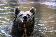 Brown bear taking a bath