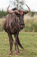 Wildebeest Full Body Standing Alert