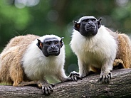 Mantle Tamarins