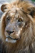 Wise Old Lion