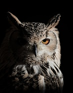 In The Moonlight- Eagle Owl