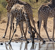 Giraffe taking a drink at a waterhole - Namibia